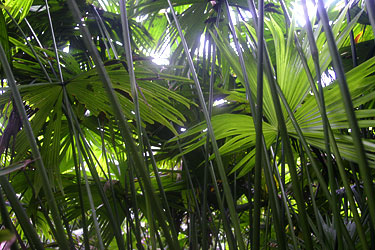 Beneath a canopy of Panama hat plants
